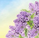 Bunch of Blooming lilacs on blue sky background Stock Images