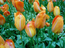 Bunch of Blooming Orange and Yellow Two-Tone Tulips with Raindrops Royalty Free Stock Image