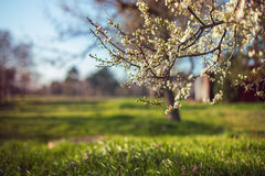 Bunch of blossom tree Stock Photography