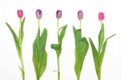 Bunch of blossomed tulips. Isolated bunch of blossomed tulips Royalty Free Stock Photo