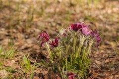 Pulsatilla patens. Bunch of blossoming beautiful purple Pulsatilla patens in the spring forest Royalty Free Stock Photography