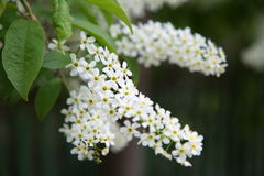 Bunch of blossoming white bird cherry. Bunch of spring blooming white Siberian bird cherry on a dark background Stock Image