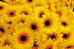 Bunch of blossoming yellow gerbera flowers royalty free stock image