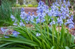 A bunch of Blue Bells in a botanic garden in Blue Mountains. A bunch of Blue Bells in a garden bed at Mount Tomah Botanic Garden in the Blue Mountains, New South Royalty Free Stock Images
