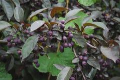 Bunch blue berries Stock Photo