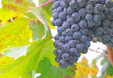 Chianti grapes. Bunch of blue chianti grapes and their leaf, shallow dept of field stock photo