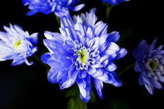 Bunch of Blue Chrysanthemum Royalty Free Stock Images