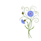 Bunch of blue cornflowers isolated on white. Royalty Free Stock Photography
