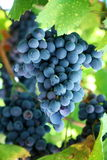 Bunch of blue grapes Stock Images