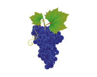 A bunch of blue grapes Stock Photos