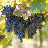 Bunch of blue grapes Stock Photography