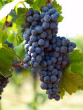 Bunch of blue grapes Stock Image