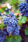 A bunch of blue grapes on grapevine stock photography