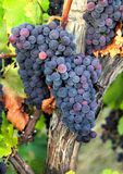 Bunch of blue grapes. Growing in vineyard royalty free stock image