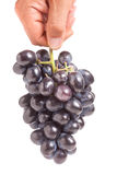 Bunch of blue grapes in a hand isolated on white background Royalty Free Stock Photo