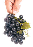 Bunch of blue grapes in a hand isolated on white background Stock Photos