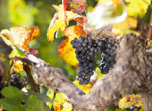 Bunch of blue grapes hanging in vine. Bunch of blue grapes hanging on vine in vineyard surrounded by colorful leaves in warm light Stock Image