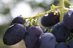 Bunch of blue grapes macro. Bunch of blue grapes with water drops macro Royalty Free Stock Photo