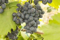 Bunch of blue grapes Moldova vector illustration