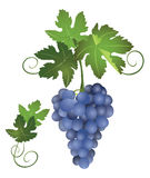 A bunch of vector blue grapes Stock Photography