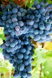 Bunch of blue grapes. Royalty Free Stock Images
