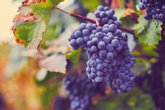 A bunch of blue grapes on vineyard in autumn stock image