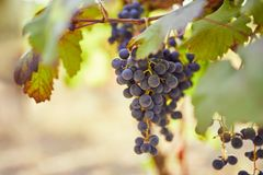 Bunch of blue grapes in the vineyard. Toned image stock images