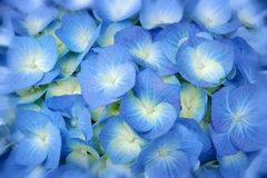 Blue spring flowers. Bunch of blue hortensia flowers stock photo