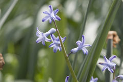 Bunch of blue hyacinth Royalty Free Stock Photo