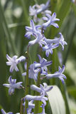 Bunch of blue hyacinth Stock Photo