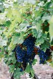 Bunch of blue juicy grapes on the background of green leaves of the vineyard stock photos