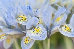 Bunch of blue mini irises. Selective focus Stock Photos