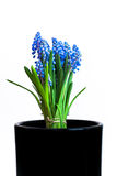 Muscari. A bunch of blue Muscari in a black pot Royalty Free Stock Photos