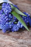A bunch of blue muscari flowers on old wooden table macro Stock Photo