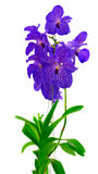 Bunch of blue  orchids Stock Photography