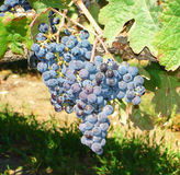 A bunch of blue and purple grapes Royalty Free Stock Photo