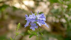 Bunches of blue tiny petals of Cape leadwort blooming on greenery leaves and blurry background, know as white plumbago. Bunch of blue tiny petals of Cape royalty free stock photos
