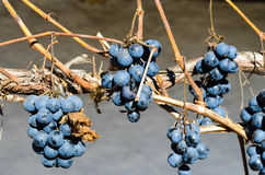 Bunch of  blue withered  grapes Royalty Free Stock Image