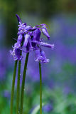 Bunch of bluebells. Against a blurry blue forest background Stock Photography