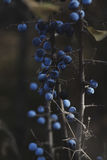 The Bunch of Blueberries Hanging on Branch Royalty Free Stock Photography