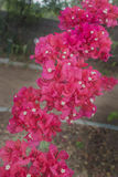 Bunch of Bougainvillea Royalty Free Stock Images