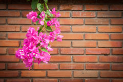 Bunch of Bougainvillea flower Stock Photography