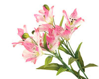 Bunch branch flowering-plant with pink flower. Bunch beautiful branch flowering-plant with pink flower, on white background, isolated royalty free stock photo