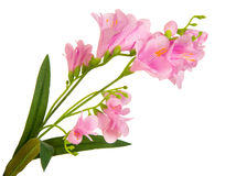 Bunch branch flowering-plant with pink flower. Bunch beautiful branch flowering-plant with pink flower, on white background, isolated stock image