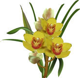 Bunch of bright yellow isolated orchids Royalty Free Stock Photography