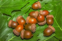 A bunch of brown acorns stock image