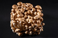 Bunch of brown beech mushrooms Royalty Free Stock Image