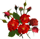 Bunch of buds and blooms of dark red roses Royalty Free Stock Photos