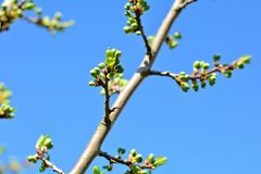 Bunch of buds on tree branch on sunny spring day. Tree buds bunch on a branch on sunny day in springtime stock photo