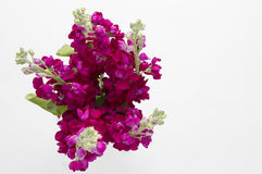 Bunch of burgandy stock flowers Royalty Free Stock Photos